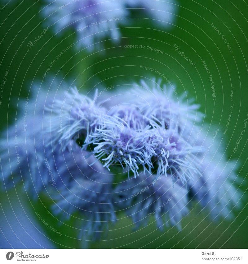 mops violett grün Quaste weich Blume Blüte Pflanze Unschärfe winzig filigran zart Wunder kuschlig durcheinander zerzaust strubbelig Staubwedel Mops leicht