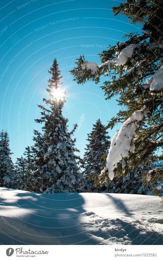 Winterwald Natur Landschaft Wolkenloser Himmel Sonne Sonnenlicht Schönes Wetter Eis Frost Schnee Tanne Nadelwald Wald glänzend leuchten ästhetisch kalt