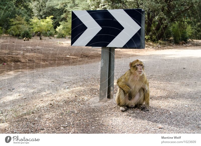 da gehts lang Tier Straße Wildtier Pause Afrika Affen Verkehrsschild Verkehrszeichen Marokko wegweisend Berberaffen
