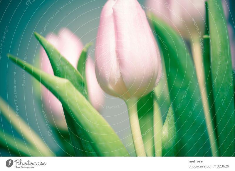Tulpenstrauß Winter Blume Blatt Blüte Blütenstiel Liliengewächse Frühblüher Frühling Frühlingsfarbe Blühend genießen leuchten Wachstum elegant schön grün rosa