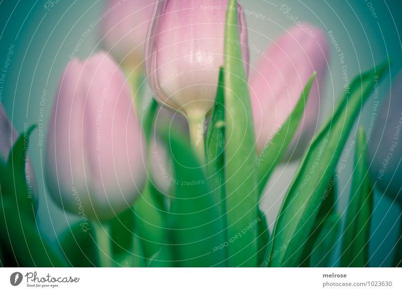 Tulpenstrauß III schön grün Farbe Blume Blatt Winter Gefühle Blüte rosa Freundschaft träumen Wachstum elegant Zufriedenheit leuchten Fröhlichkeit