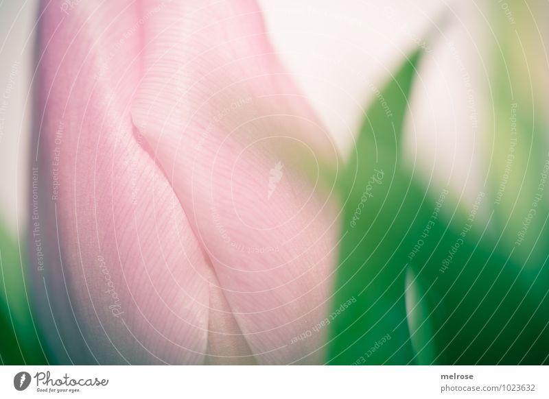 rosa Tulpenblüte Winter Blume Blatt Blüte Liliengewächse Frühblüher Frühlingsfarbe Blühend genießen Wachstum elegant schön grün weiß Gefühle Fröhlichkeit
