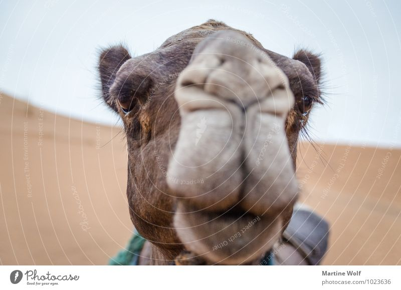 Camelface Ferien & Urlaub & Reisen schön Tier Afrika Wimpern Nutztier Kamel Marokko Dromedar Merzouga