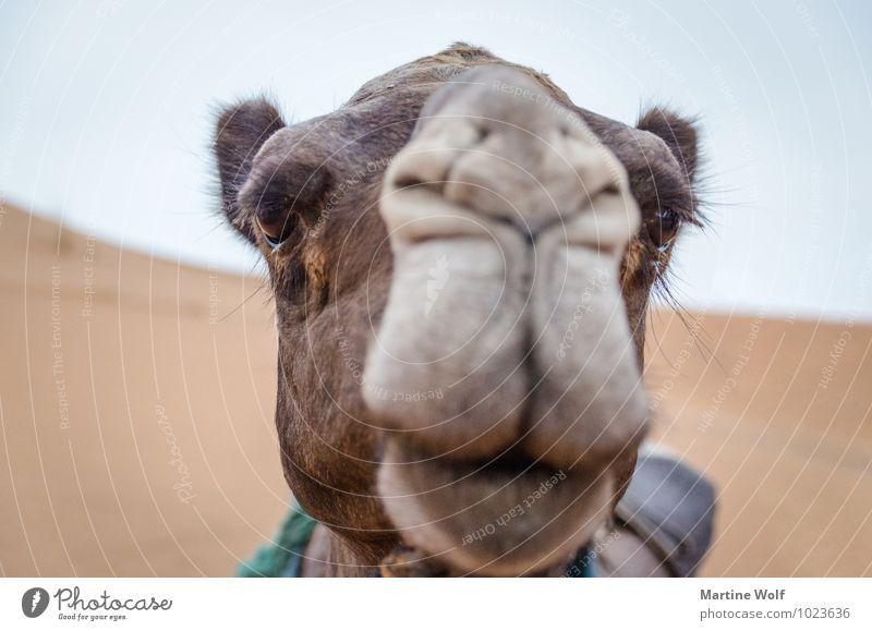 Camelface Marokko Afrika Nutztier Kamel Dromedar 1 Tier Ferien & Urlaub & Reisen schön Erg Chebbi Merzouga Provinz Errachidia Wimpern Farbfoto Gedeckte Farben