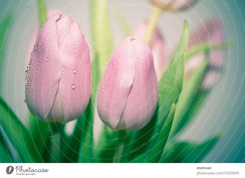 weinende Tulpen Wassertropfen Winter Blume Blatt Blüte Blütenstiel Liliengewächse Frühling Frühblüher Tropfen Blühend Wachstum elegant schön grün rosa Gefühle