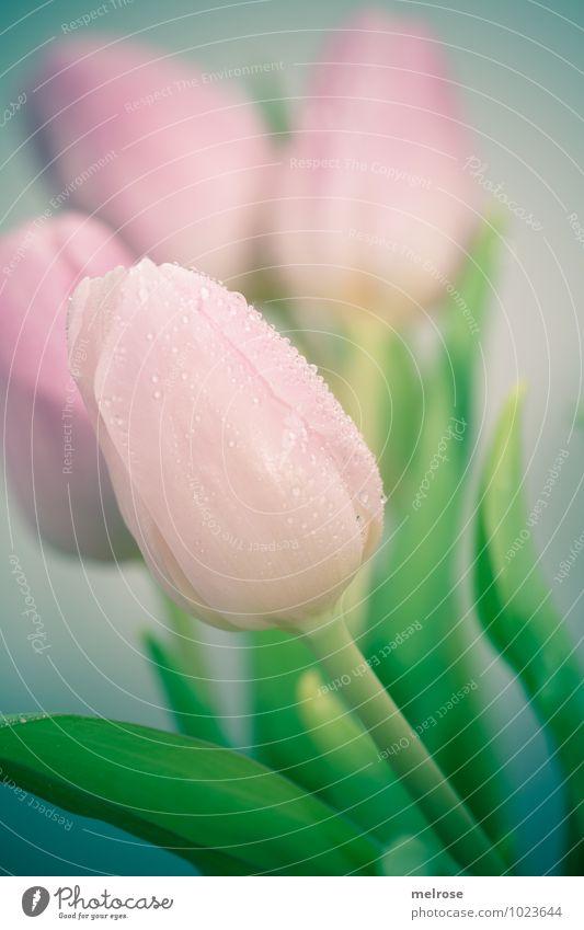 weinende Tulpen II schön grün Farbe Blume Blatt Winter Gefühle Blüte rosa Freundschaft träumen Wachstum elegant Wassertropfen Lebensfreude Blühend