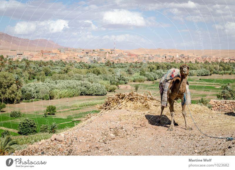 der Wächter vom großen Tal Berge u. Gebirge Atlas Oase Marokko Afrika Kamel Dromedar Ferien & Urlaub & Reisen Antiatlas Todra Tal Farbfoto Außenaufnahme