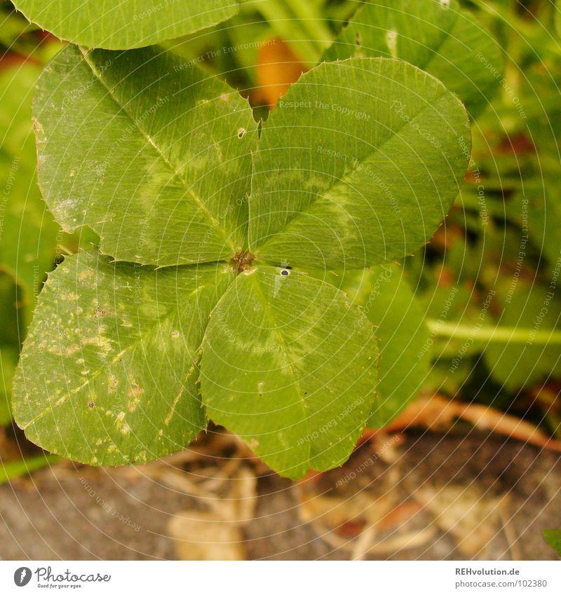 Das Glück in seiner natürlichen Umgebung Klee Kleeblatt grün Glücksbringer Zufall finden Suche Wiese Wegrand sichtbar außergewöhnlich Stengel typisch Freude