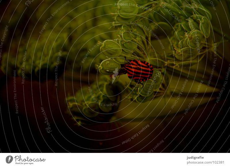 Gestreift Kerbel Wiesenkerbel rot schwarz Wanze Insekt Wachstum gedeihen Umwelt gestreift Pflanze grün Tier Farbe streifenwanze Käfer Natur Leben Heilpflanzen