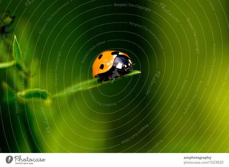 Marienkäfer Tier Käfer 1 entdecken genießen krabbeln Blick schön grün orange Erholung erleben Natur Neugier Risiko Umwelt Ferne Makroaufnahme Punkt Gras