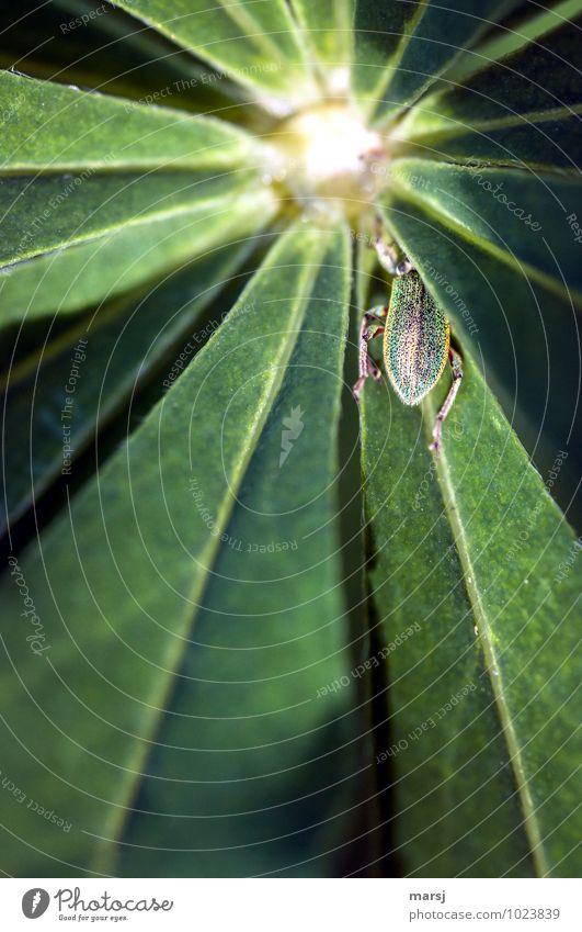 Ihr seht mich nicht! Natur Pflanze Blatt Grünpflanze Wildpflanze Lupine Lupinenblatt Tier Wildtier Käfer Insekt 1 strahlenförmig dunkel einfach Ekel natürlich