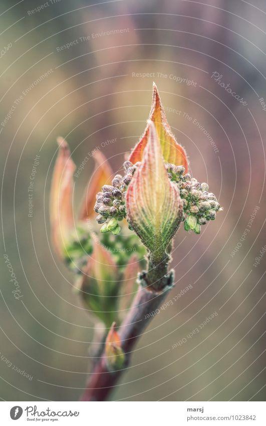 Ganz schön viele Natur Frühling Pflanze Sträucher Blatt Grünpflanze Blütenknospen Hartriegel Hartriegelblatt frisch Zusammensein kuschlig klein nah natürlich