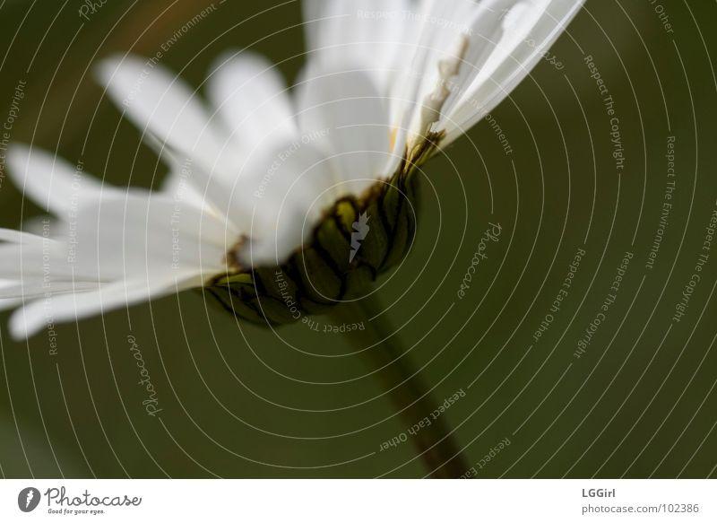 Margarite Gänseblümchen Blüte weiß Blume Wiesenblume Korbblütengewächs Stengel Hüllblatt Margerite Pflanze grün Makroaufnahme Nahaufnahme Magarite