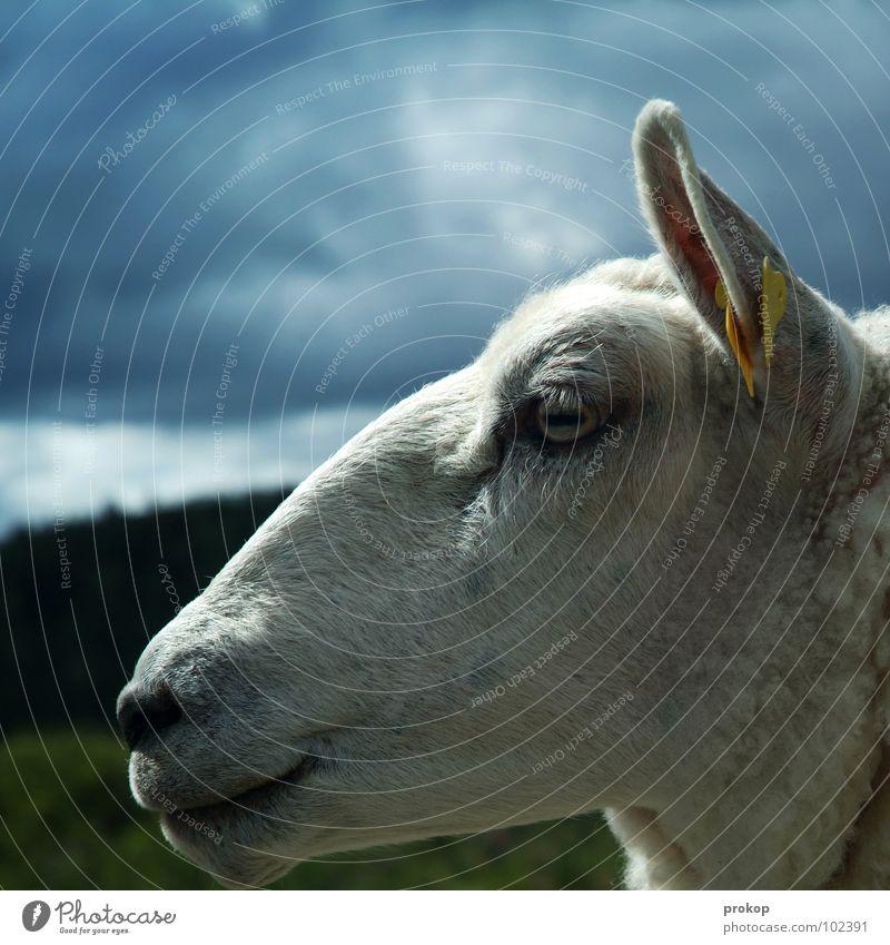 Pulloverschwein Himmel schön Baum Wolken Wiese Auge Glück Denken Mund süß Ohr einfach Lippen Frieden Schaf dumm