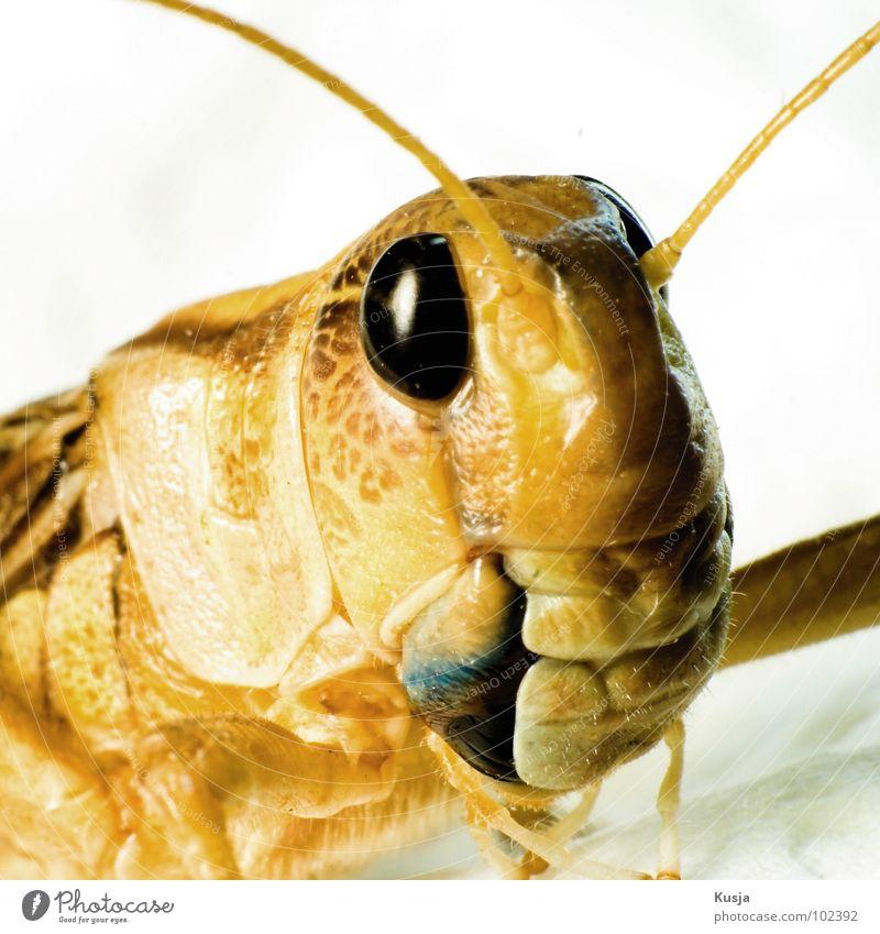 Flipp 2 Heuschrecke Heimchen Sommer Insekt Tier Lebewesen springen hüpfen gelb Macht Makroaufnahme Nahaufnahme inseckt groß portre Kusja Auge