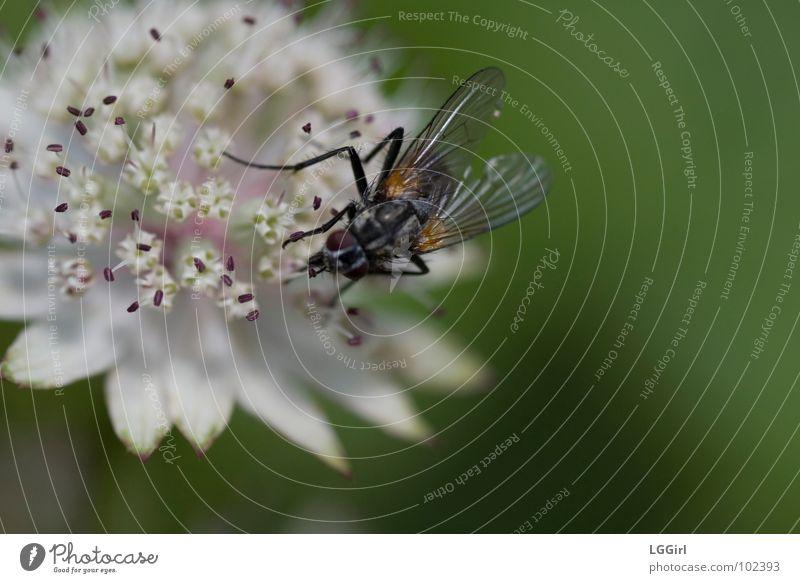 Die Schöne und das Biest Blume Blüte Pflanze Große Sterndolde Wiesenblume Nahrungssuche Astern Makroaufnahme Nahaufnahme Alpenblume Fliege Bestäubung