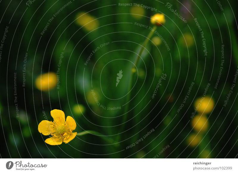 hahnenfuß unbeschuht Natur schön grün Sommer gelb Leben Wiese Gras einfach Blumenwiese Barfuß simpel dezent Hahnenfuß