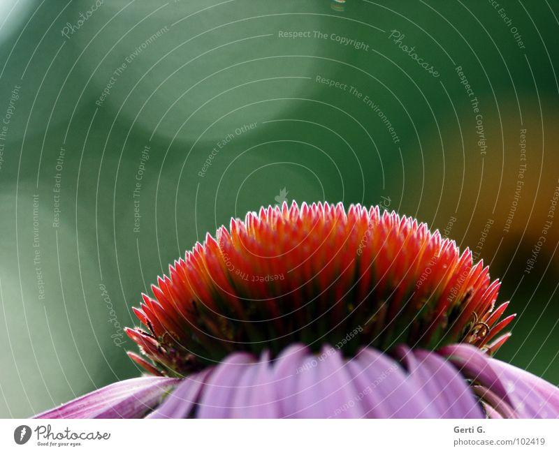 pur pur purpur Roter Sonnenhut stachelig stechen Blume Blüte Pflanze Zierpflanze Heilpflanzen Korbblütengewächs rosa rot grün Sonnenlicht Gegenlicht Gesundheit
