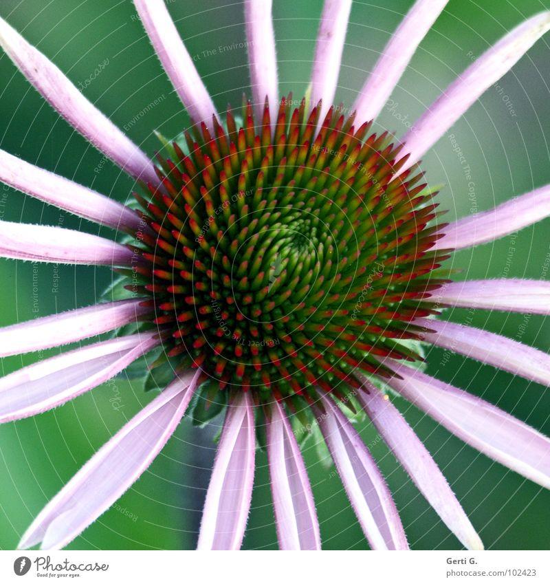 original Blume Blüte grün Wagenräder Blütenblatt abstrakt stachelig Roter Sonnenhut Korbblütengewächs purpur Pflanze Zierpflanze Heilpflanzen Sonnenlicht
