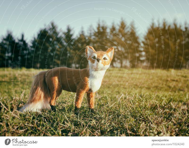 Mr. Fox Umwelt Natur Landschaft Wolkenloser Himmel Frühling Winter Schönes Wetter Sträucher Wiese Feld Wald Tier 1 beobachten authentisch außergewöhnlich braun