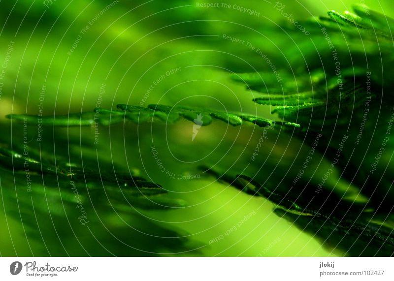 Farn Natur grün schön Pflanze Sommer Blatt dunkel Frühling Wachstum weich berühren zart feucht sanft Biologie Echte Farne
