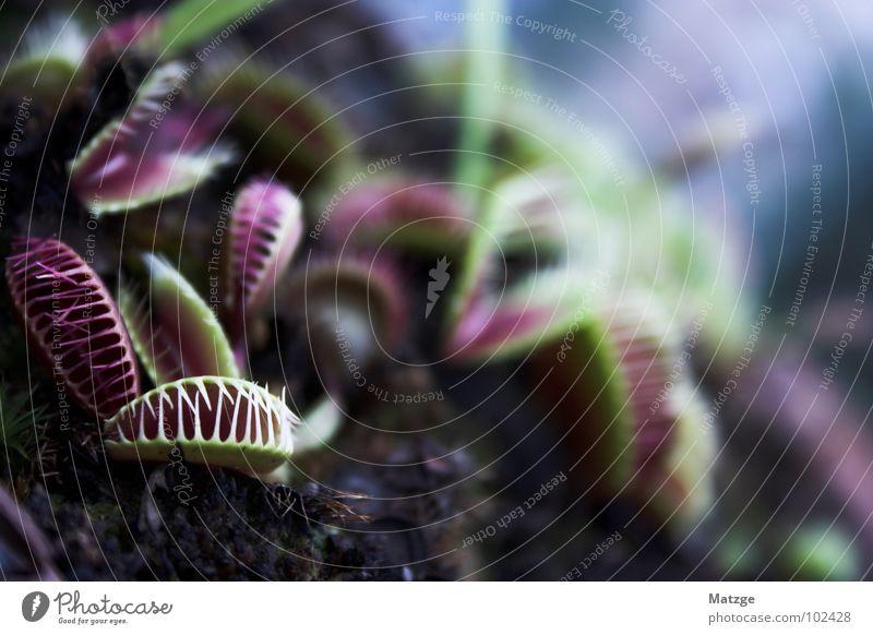 Schni Schna Schnappi grün Pflanze rot dunkel gefährlich Hinterhalt Fleischfresser Sonnentaugewächse Fliegenfalle Venusfliegenfalle