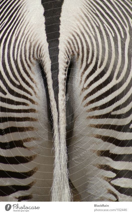 Strips weiß schwarz Tier Streifen Zoo Säugetier Schwanz Zebra Gute Laune Unpaarhufer