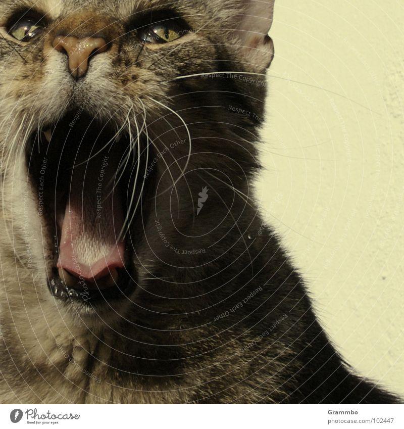 Wiiiiiiilmaaaaa! schreien laut Katze aufreißen Bart Fell Schrecken Krach erstaunt Säugetier Willi Maul Zunge
