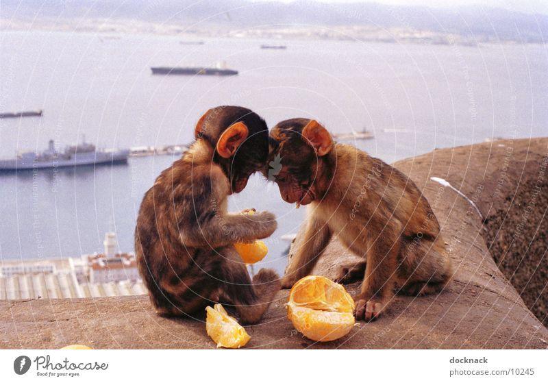 Obst ist gesund... Frucht Orange süß niedlich Fressen Affen Spanien füttern Tier Äffchen Gibraltar