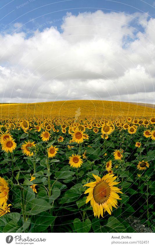 Sonnenblumenfeld Wolken Feld Blume Sommer gelb weiß Frühling Horizont Landwirtschaft fleißig Arbeit & Erwerbstätigkeit Fröhlichkeit Freundlichkeit frisch Himmel