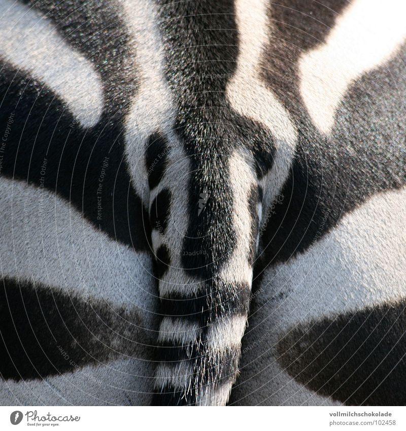 Streifenarsch. weiß schwarz Tier Gesäß Afrika Streifen Zoo Fleck Säugetier Schwanz Symmetrie Pony Zebra Savanne Pups