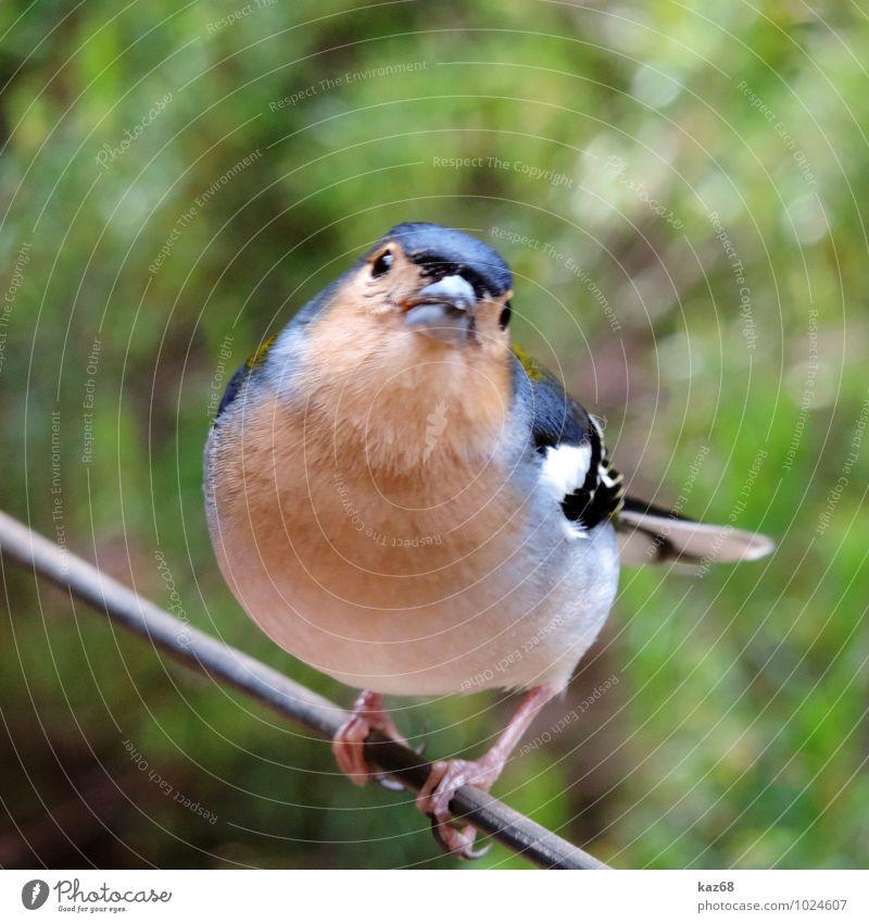 Fink Natur blau Pflanze schön weiß Tier schwarz Umwelt Freiheit fliegen braun Vogel sitzen Insel Ausflug beobachten