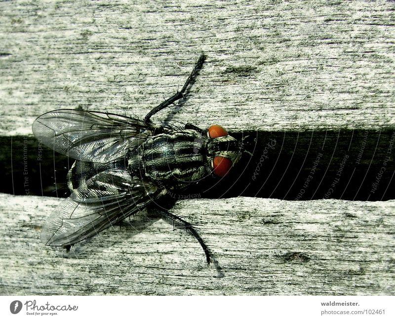 Spalt und Fliege II Auge dunkel Insekt Ekel Furche krabbeln Spalte Fleischfliege