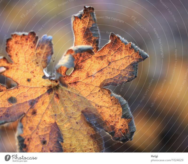 kümmerlich | Überbleibsel des Sommers Natur alt Pflanze Blatt Umwelt gelb Leben Herbst natürlich braun Stimmung Park orange leuchten authentisch Vergänglichkeit