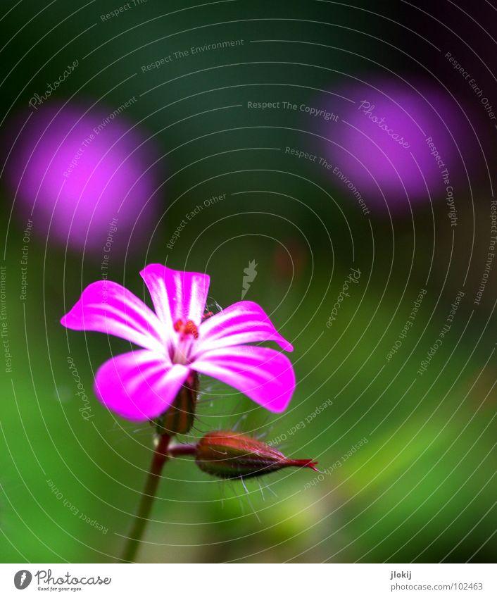 Drei kleine Italienerinnen... Blume Blüte violett Pflanze Wachstum Staubfäden Stengel grün Strahlung 2 ruhig Gelassenheit zart Frühling Jahreszeiten 3 Sommer