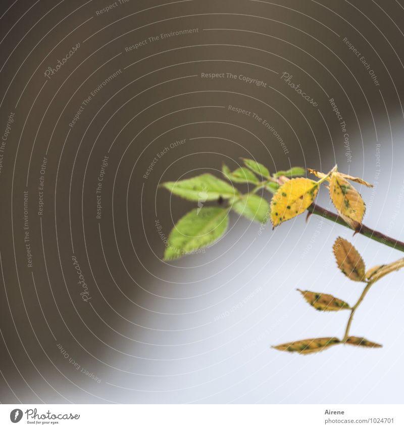 Neues vorbereiten Pflanze Rose Blatt Herbstfärbung Rosenstrauch Fiederblätter Garten verblüht dehydrieren braun grün kalt Schwäche Trauer Wachstum