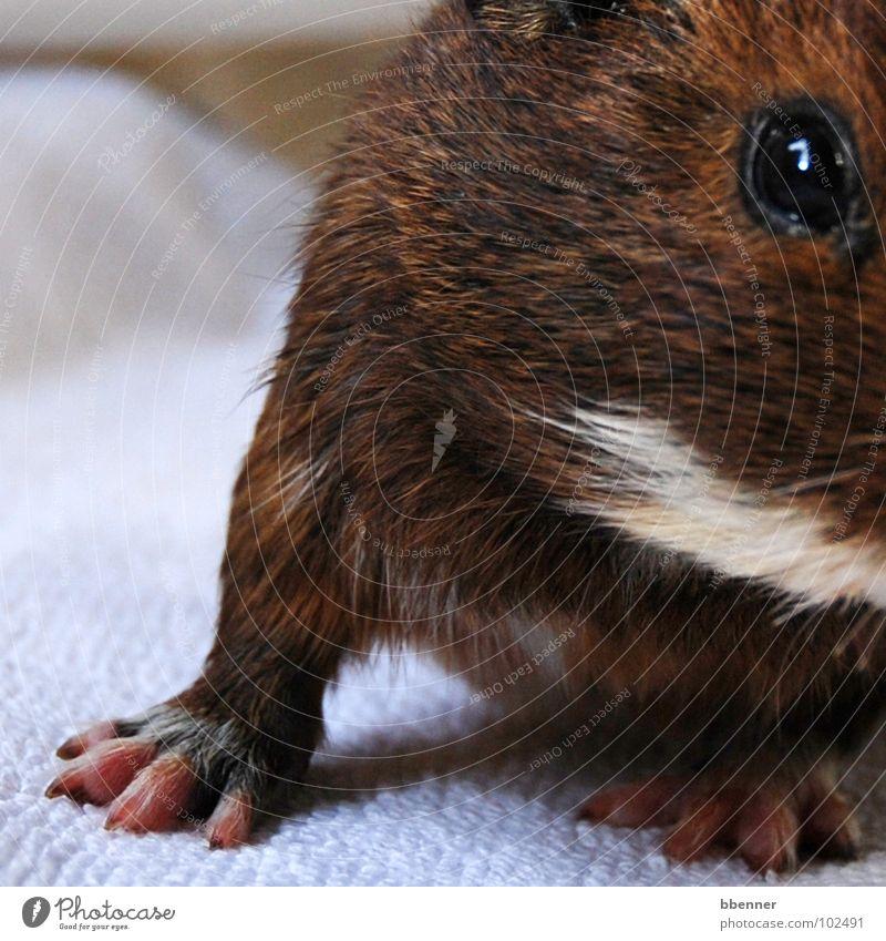 Frau Röhrich II Meerschweinchen Pfote Krallen Fell braun weiß niedlich Schnurrbarthaare Handtuch Tier Säugetier Beine Auge
