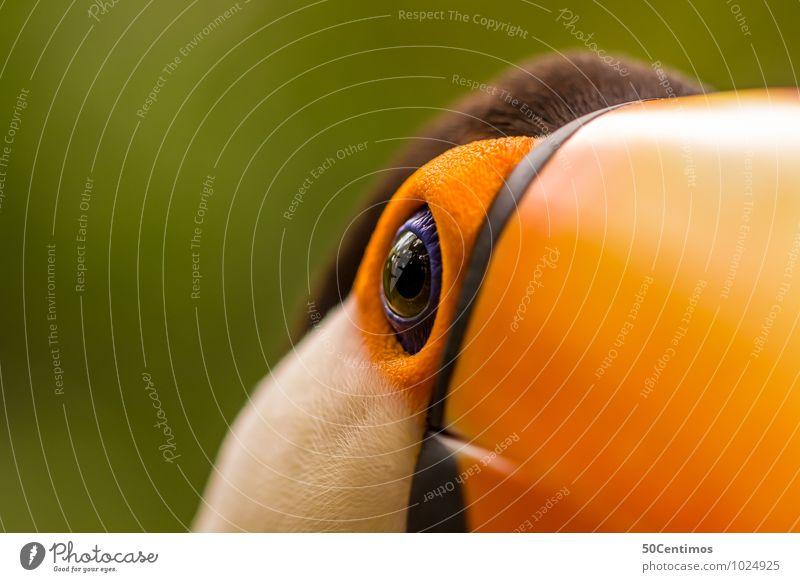 Ein Tukan im Detail schön Tier Umwelt Leben Vogel elegant ästhetisch Geschwindigkeit Abenteuer Tukane