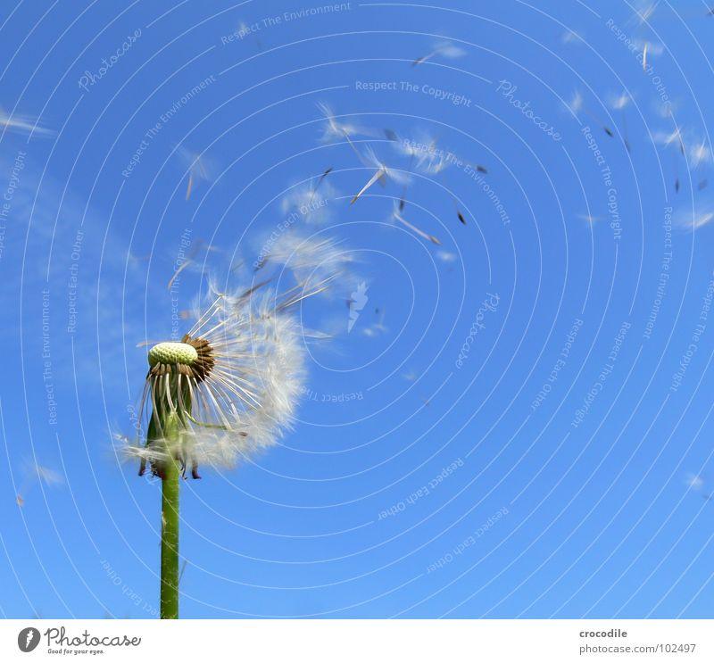 achtung, samen invarsion! Löwenzahn Blauer Himmel Stengel Nachkommen grün Fortpflanzung Samen fliegen Freiheit Segel Regenschirm