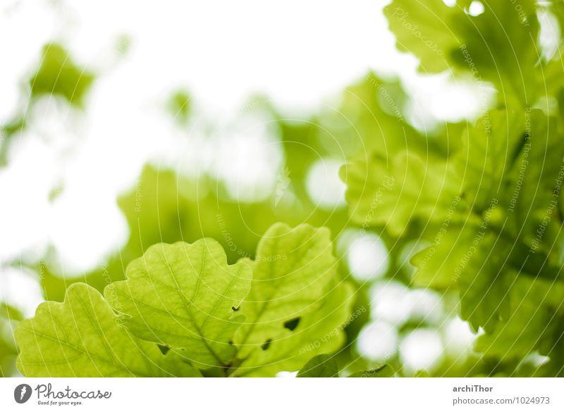grün ist eine warme Farbe Umwelt Natur Pflanze Himmel Frühling Sommer Baum Blatt Grünpflanze Eiche Garten Park Wald Zufriedenheit ruhig Ferien & Urlaub & Reisen