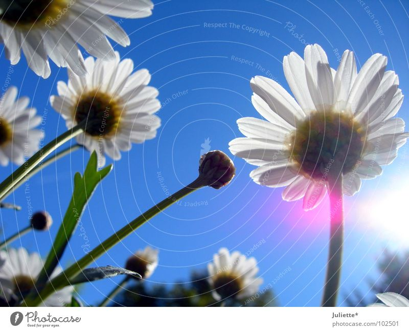 Käferperspektive II schön Himmel weiß Sonne Blume blau Farbe Frühling Beleuchtung rosa frisch gegen