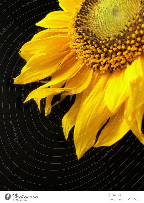 sommergold Sonnenblume gelb Blüte züngeln brennen Eigelb Biene Staubfäden Wachstum Ernährung Sommer sunflower Flamme Nektar Brand Leben Lebensmittel