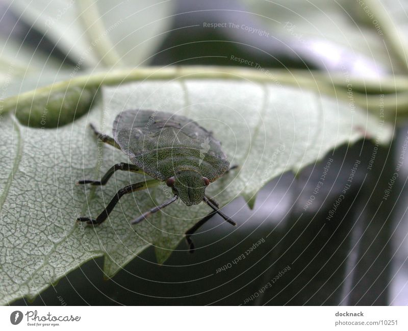 Wanze Natur Blatt Tier