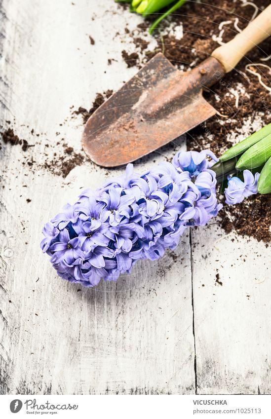 blaue Hyazinthe und Schaufel mit Erde Natur alt Pflanze weiß Blume Frühling Stil grau Hintergrundbild Garten Lifestyle Freizeit & Hobby Design Gerät