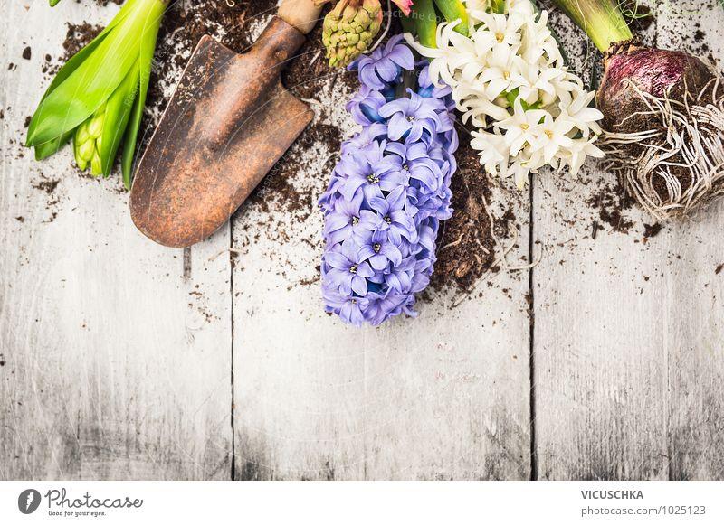 Hyazinthe Blumen , Zwiebeln, Knollen und Schaufel Natur Pflanze weiß Blatt Blüte Frühling Stil Hintergrundbild Garten Park Erde Design Dekoration & Verzierung