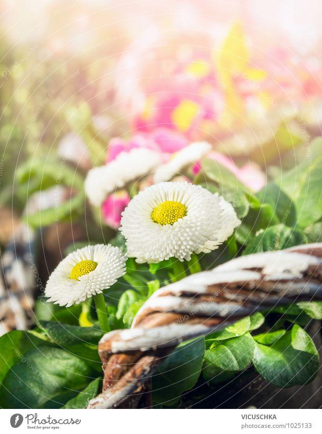 Gänseblümchen im Frühling Garten Stil Design Sommer Dekoration & Verzierung Natur Pflanze Sonnenlicht Schönes Wetter Blume Park gelb grün rosa Hintergrundbild