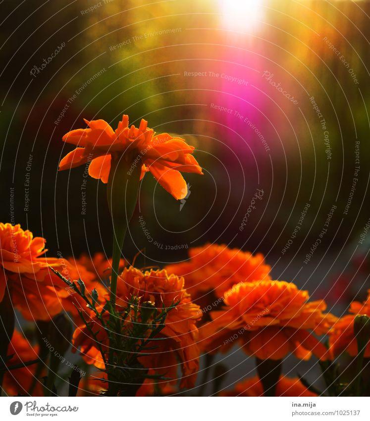 ganz weit hinaus Umwelt Natur Pflanze Sonne Sonnenaufgang Sonnenuntergang Sonnenlicht Frühling Sommer Herbst Blume Blüte Garten Duft Lebensfreude orange