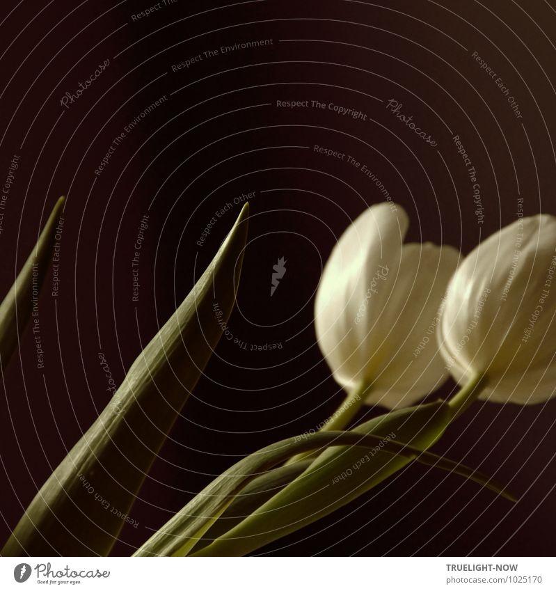 Weiße Tulpen 2 ... grün weiß Erholung Blume Blatt ruhig schwarz Leben Liebe Blüte Glück Lifestyle träumen Häusliches Leben elegant Zufriedenheit