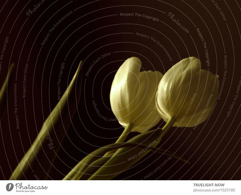 Weisse Tulpen 5 Pflanze grün weiß Erholung Blatt ruhig Leben Liebe Blüte Stil braun Lifestyle träumen Wohnung Design Dekoration & Verzierung