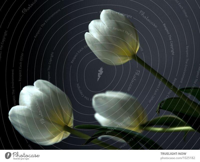 Weiße Tulpen 1 ... Pflanze schön grün weiß Erholung Blume Blatt ruhig Erotik kalt Blüte grau Wohnung Häusliches Leben elegant Dekoration & Verzierung